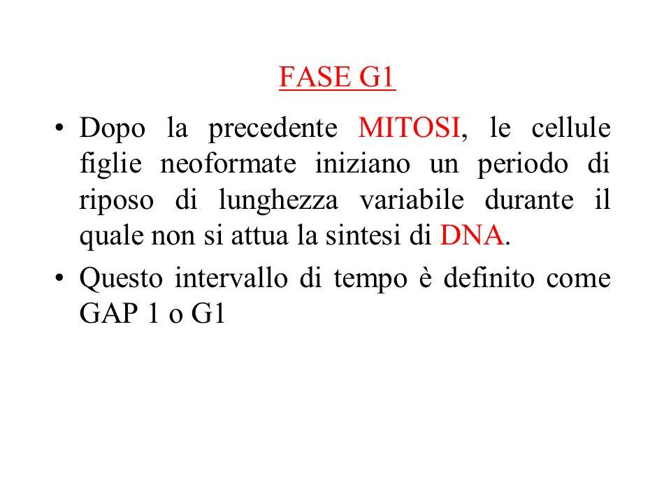 FASE G1 Dopo la precedente MITOSI, le cellule figlie neoformate iniziano un periodo di riposo di lunghezza variabile durante il quale non si attua la sintesi di DNA.