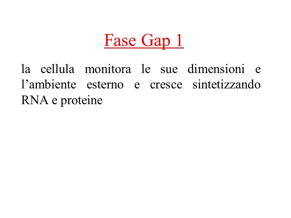 Fase Gap 1 la cellula monitora le sue dimensioni e lambiente esterno e cresce sintetizzando RNA e proteine