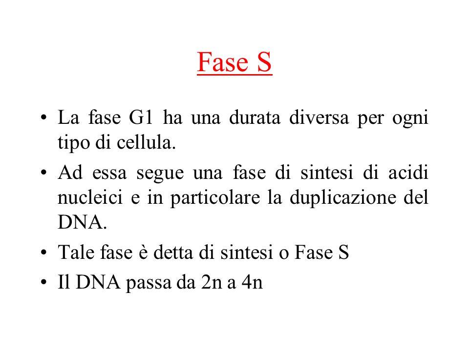 Fase S La fase G1 ha una durata diversa per ogni tipo di cellula. Ad essa segue una fase di sintesi di acidi nucleici e in particolare la duplicazione