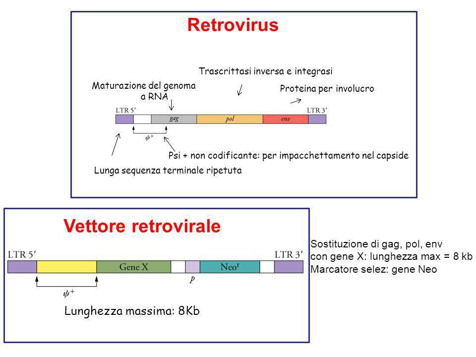 Lunga sequenza terminale ripetuta Psi + non codificante: per impacchettamento nel capside Maturazione del genoma a RNA Trascrittasi inversa e integrasi Proteina per involucro Retrovirus Vettore retrovirale Sostituzione di gag, pol, env con gene X: lunghezza max = 8 kb Marcatore selez: gene Neo Lunghezza massima: 8Kb