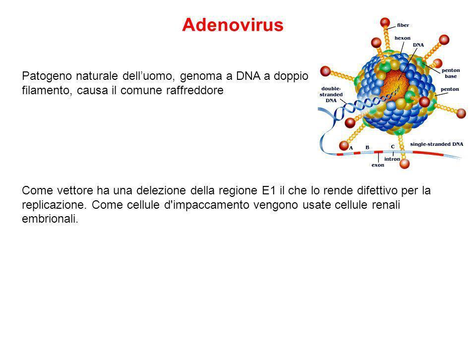 Patogeno naturale delluomo, genoma a DNA a doppio filamento, causa il comune raffreddore Come vettore ha una delezione della regione E1 il che lo rende difettivo per la replicazione.