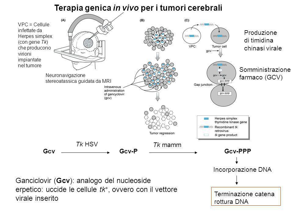 Terapia genica in vivo per i tumori cerebrali Ganciclovir (Gcv): analogo del nucleoside erpetico: uccide le cellule tk +, ovvero con il vettore virale inserito Gcv Gcv-P Gcv-PPP Incorporazione DNA Terminazione catena rottura DNA Tk HSV Tk mamm VPC = Cellule infettate da Herpes simplex (con gene Tk) che producono virioni impiantate nel tumore Produzione di timidina chinasi virale Somministrazione farmaco (GCV) Neuronavigazione stereoatassica guidata da MRI