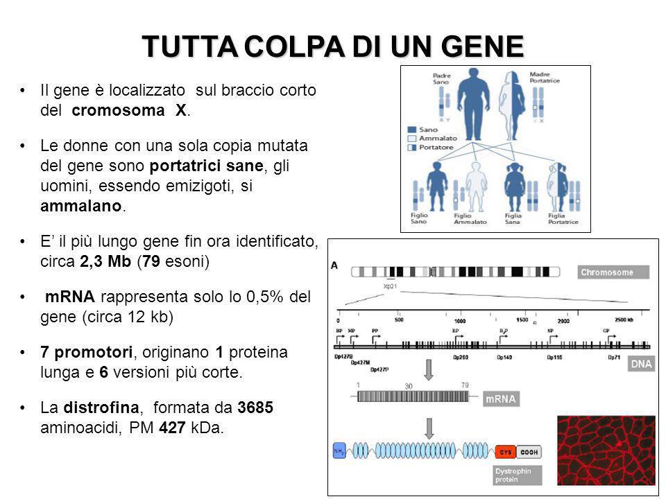 Il gene è localizzato sul braccio corto del cromosoma X.