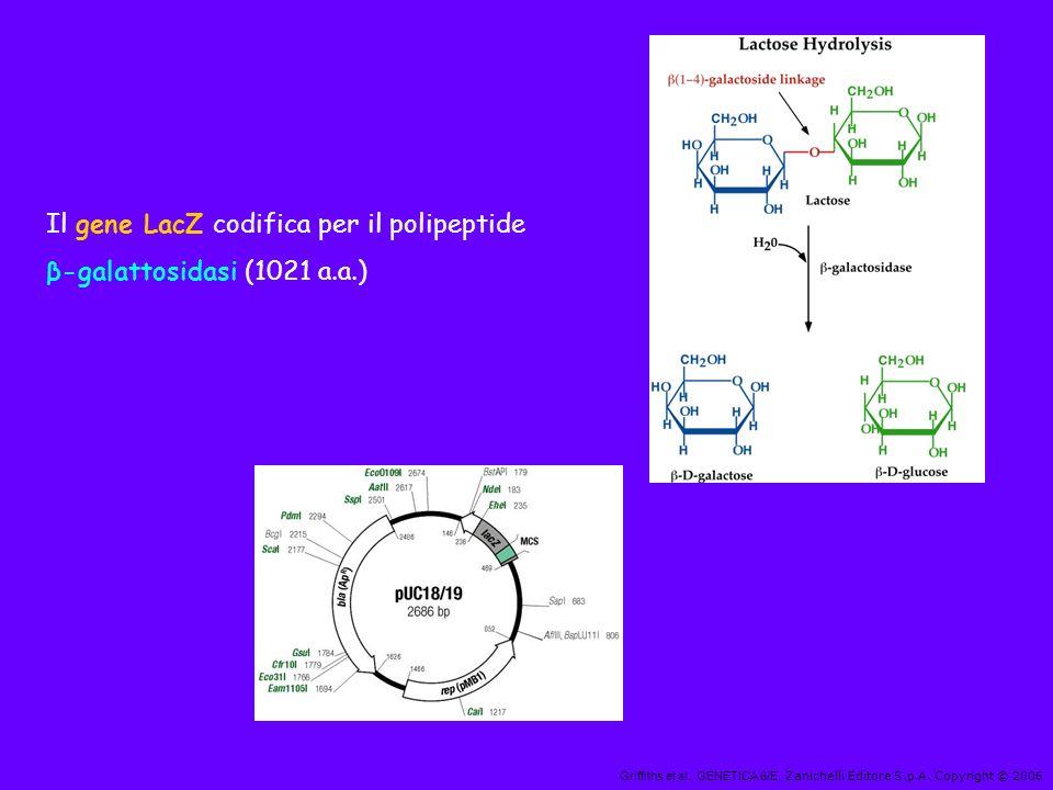 Griffiths et al., GENETICA 6/E, Zanichelli Editore S.p.A. Copyright © 2006 Il gene LacZ codifica per il polipeptide β-galattosidasi (1021 a.a.)