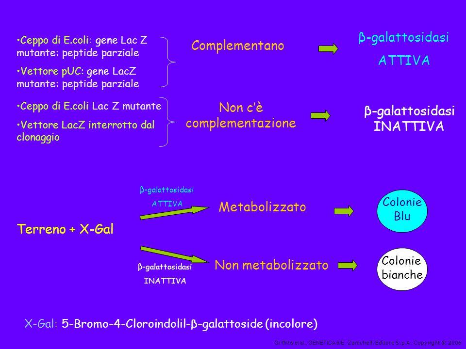 Griffiths et al., GENETICA 6/E, Zanichelli Editore S.p.A. Copyright © 2006 Ceppo di E.coli: gene Lac Z mutante: peptide parziale Vettore pUC: gene Lac