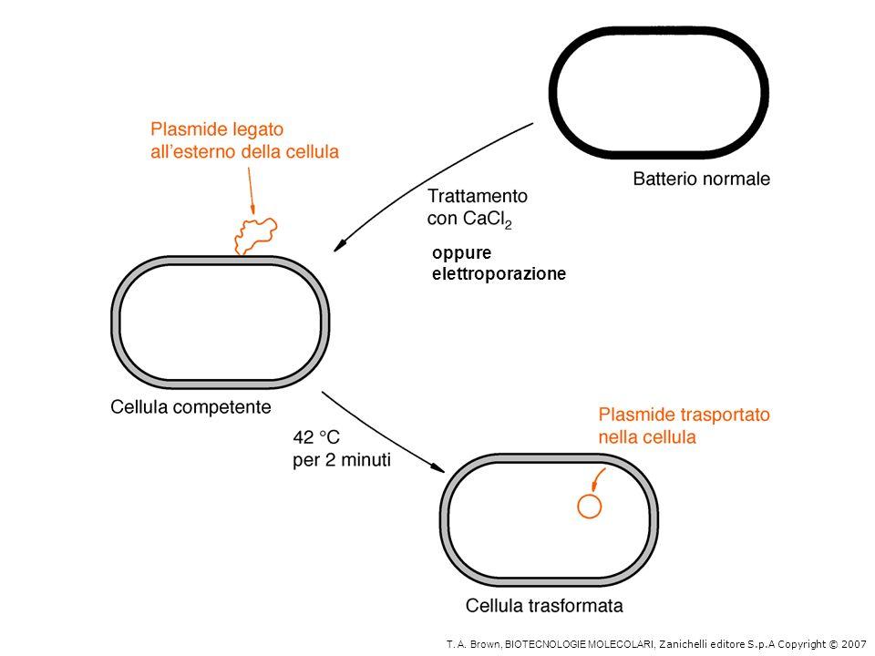 Metodi di inserimento dei vettori ricombinanti nelle cellule batteriche Trasformazione: plasmidi (DNA) trasformano cellule procariotiche rese competenti Infezione: fagi (DNA con capsidi) che lisano il batterio Trasduzione: cosmidi (DNA con capsidi) che nel batterio si comportano come plasmidi Trasfezione: come una trasformazione ma con DNA fagico senza capsidi per es: per introdurre la forma replicativa di M13 a doppio filamento