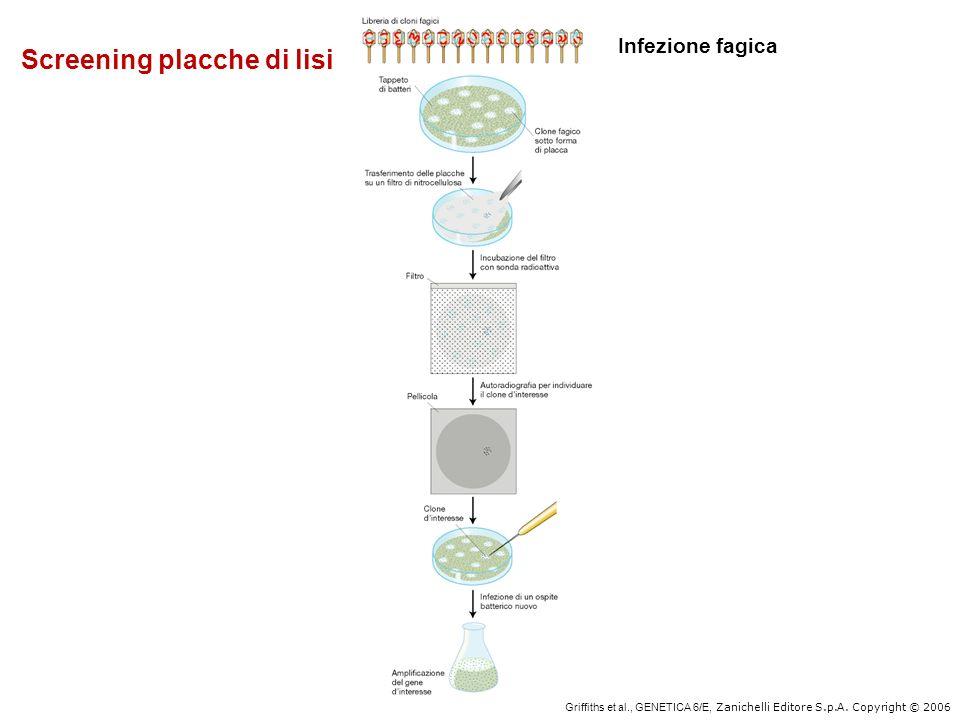 Griffiths et al., GENETICA 6/E, Zanichelli Editore S.p.A. Copyright © 2006 Screening placche di lisi Infezione fagica