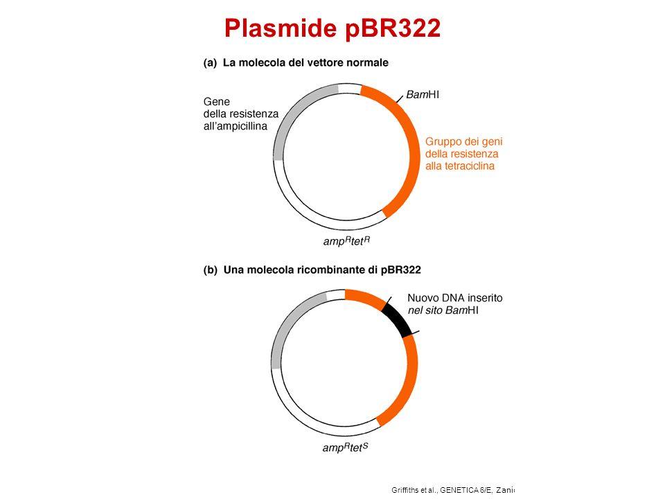 Griffiths et al., GENETICA 6/E, Zanichelli Editore S.p.A. Copyright © 2006 Plasmide pBR322