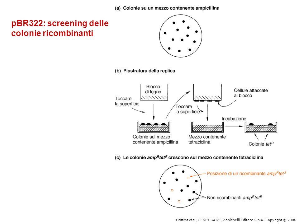 Griffiths et al., GENETICA 6/E, Zanichelli Editore S.p.A. Copyright © 2006 pBR322: screening delle colonie ricombinanti