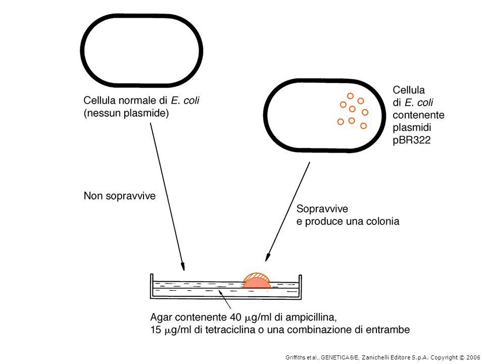 Griffiths et al., GENETICA 6/E, Zanichelli Editore S.p.A. Copyright © 2006