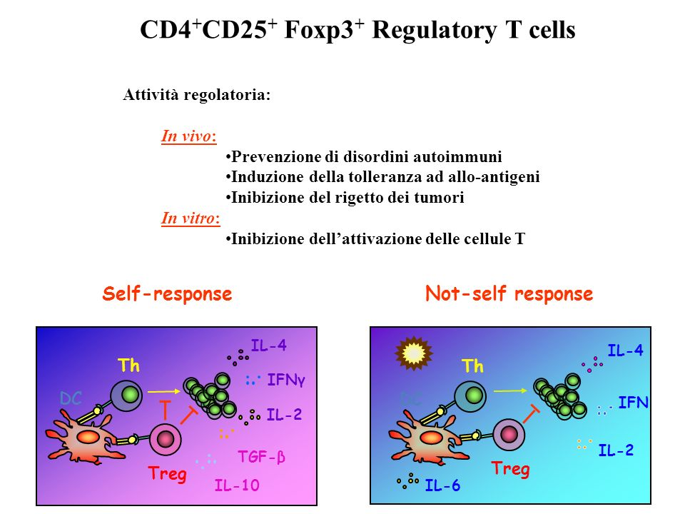 IFNγ IL-4 DC IL-2 Treg Th IL-10 TGF-β Self-response Not-self response Treg IFN IL-4 DC IL-2 Th IL-6 CD4 + CD25 + Foxp3 + Regulatory T cells Attività r