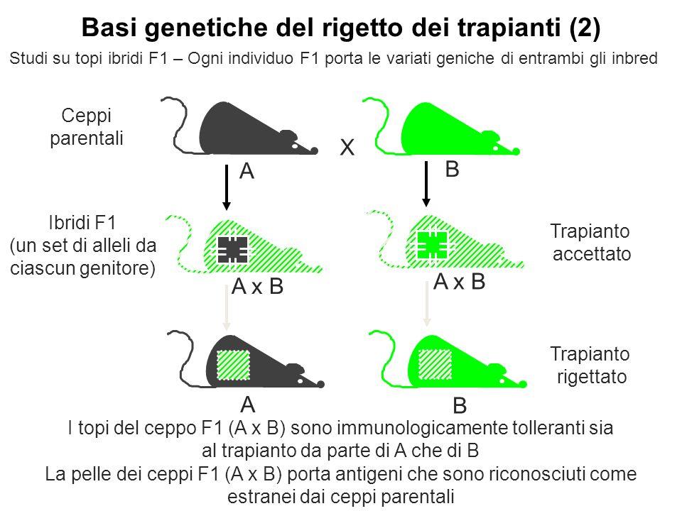 Ibridi F1 (un set di alleli da ciascun genitore) A x B I topi del ceppo F1 (A x B) sono immunologicamente tolleranti sia al trapianto da parte di A ch