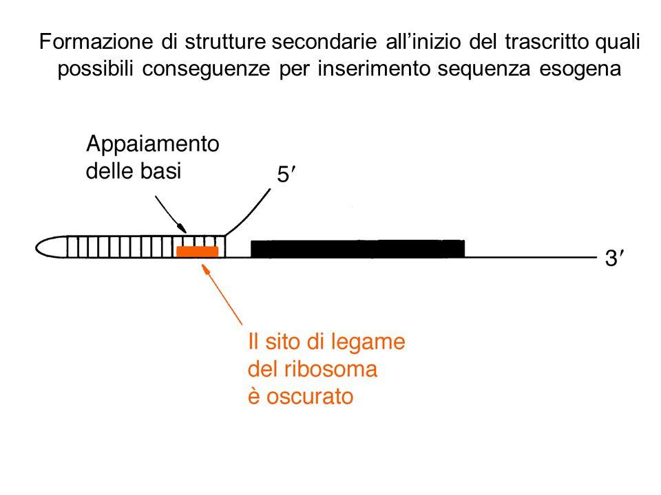 Formazione di strutture secondarie allinizio del trascritto quali possibili conseguenze per inserimento sequenza esogena
