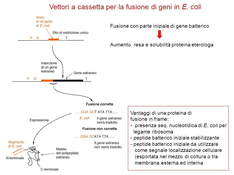 Vettori a cassetta per la fusione di geni in E. coli Vantaggi di una proteina di fusione in frame: - presenza seq. nucleotidica di E. coli per legame