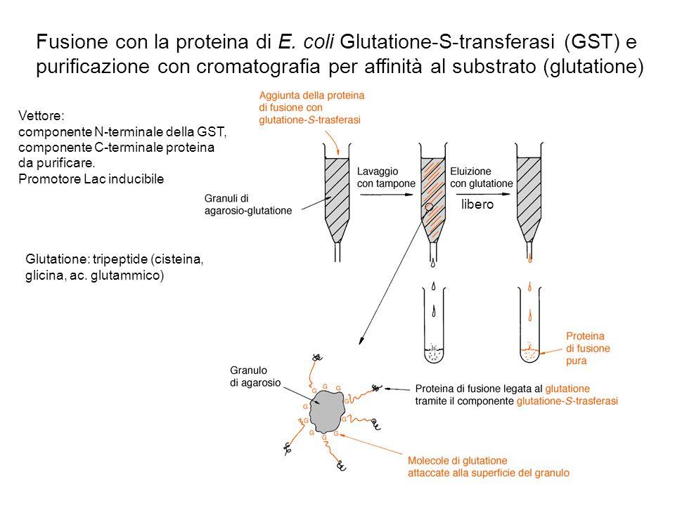 Fusione con la proteina di E. coli Glutatione-S-transferasi (GST) e purificazione con cromatografia per affinità al substrato (glutatione) Vettore: co