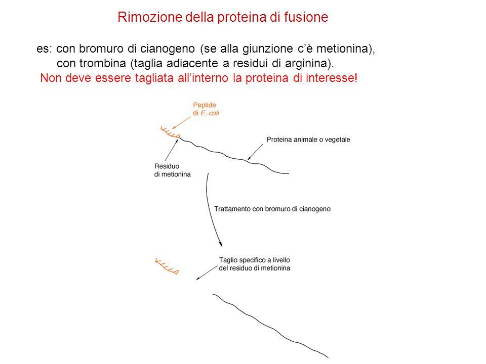 Rimozione della proteina di fusione es: con bromuro di cianogeno (se alla giunzione cè metionina), con trombina (taglia adiacente a residui di arginin