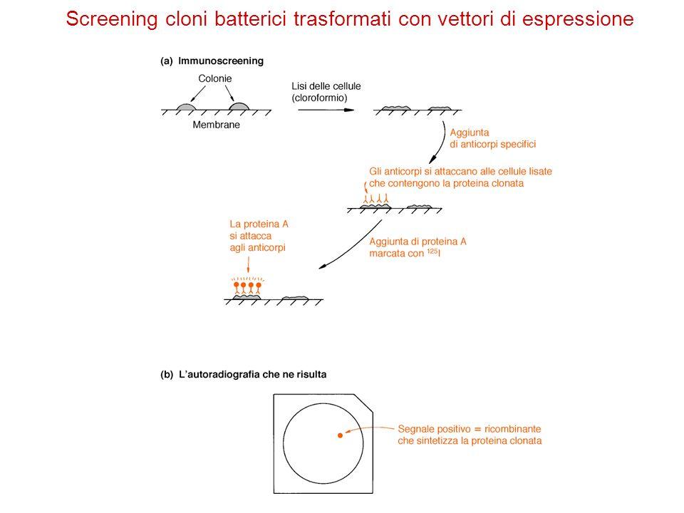 Screening cloni batterici trasformati con vettori di espressione