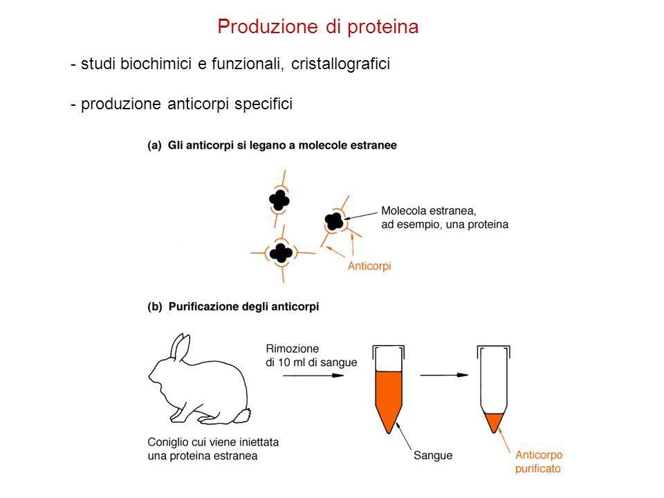 Produzione di proteina - studi biochimici e funzionali, cristallografici - produzione anticorpi specifici