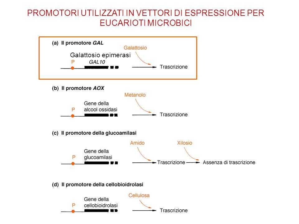 Galattosio epimerasi PROMOTORI UTILIZZATI IN VETTORI DI ESPRESSIONE PER EUCARIOTI MICROBICI