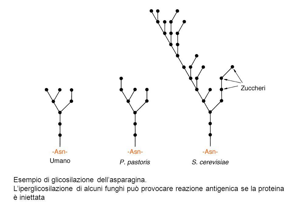 Esempio di glicosilazione dellasparagina. Liperglicosilazione di alcuni funghi può provocare reazione antigenica se la proteina è iniettata