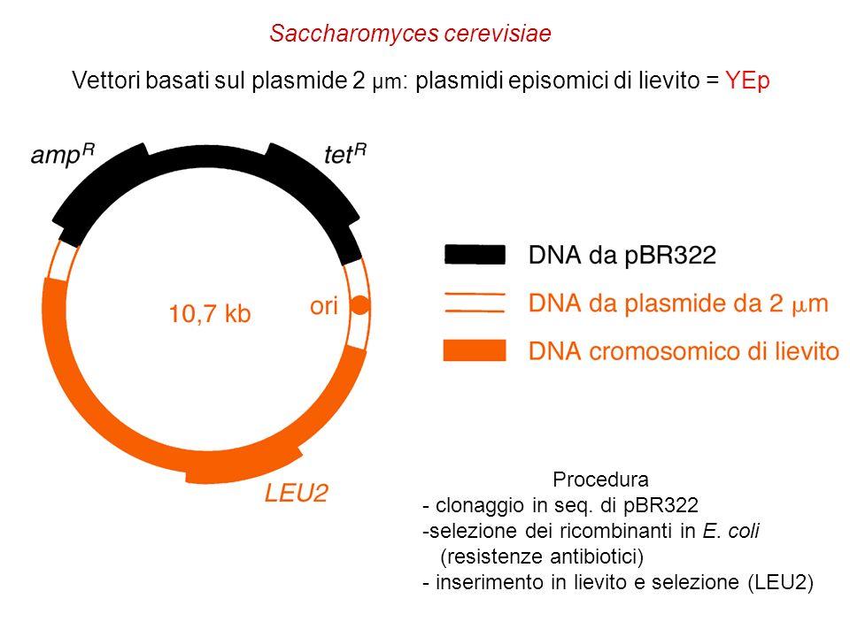 Vettori basati sul plasmide 2 µm : plasmidi episomici di lievito = YEp Procedura - clonaggio in seq. di pBR322 -selezione dei ricombinanti in E. coli