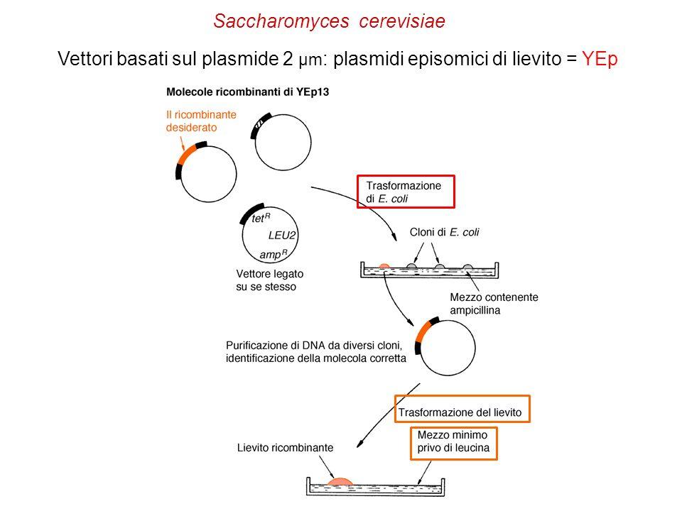 Vettori basati sul plasmide 2 µm : plasmidi episomici di lievito = YEp Saccharomyces cerevisiae
