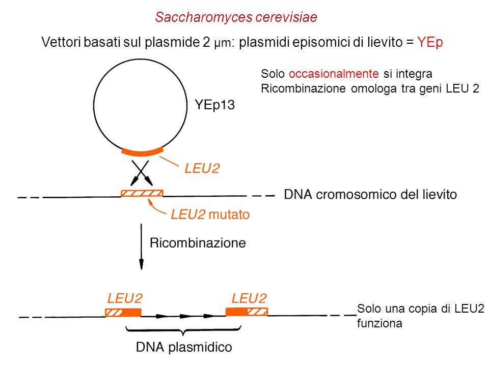 Vettori basati sul plasmide 2 µm : plasmidi episomici di lievito = YEp Solo una copia di LEU2 funziona Solo occasionalmente si integra Ricombinazione