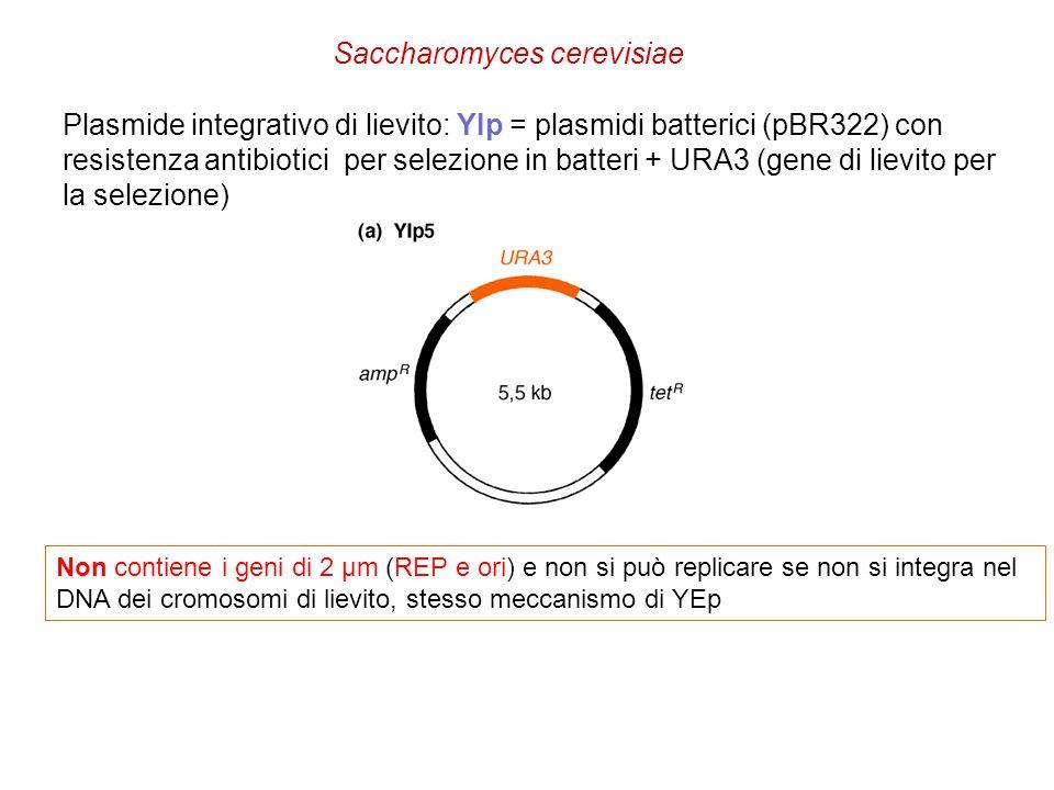 Plasmide integrativo di lievito: YIp = plasmidi batterici (pBR322) con resistenza antibiotici per selezione in batteri + URA3 (gene di lievito per la