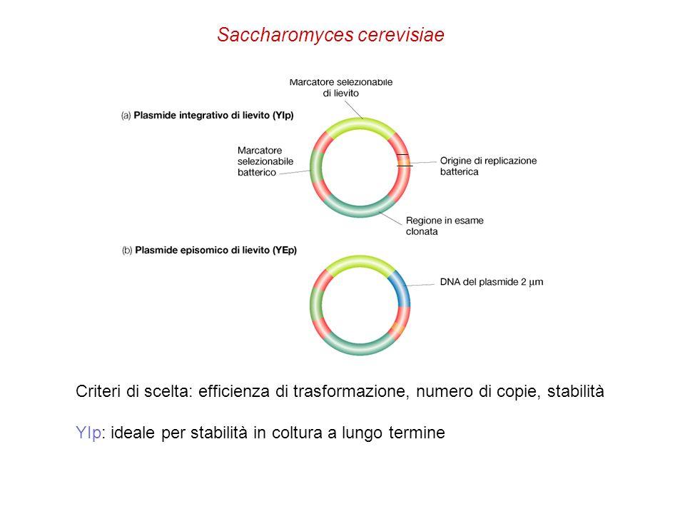 Saccharomyces cerevisiae Criteri di scelta: efficienza di trasformazione, numero di copie, stabilità YIp: ideale per stabilità in coltura a lungo term