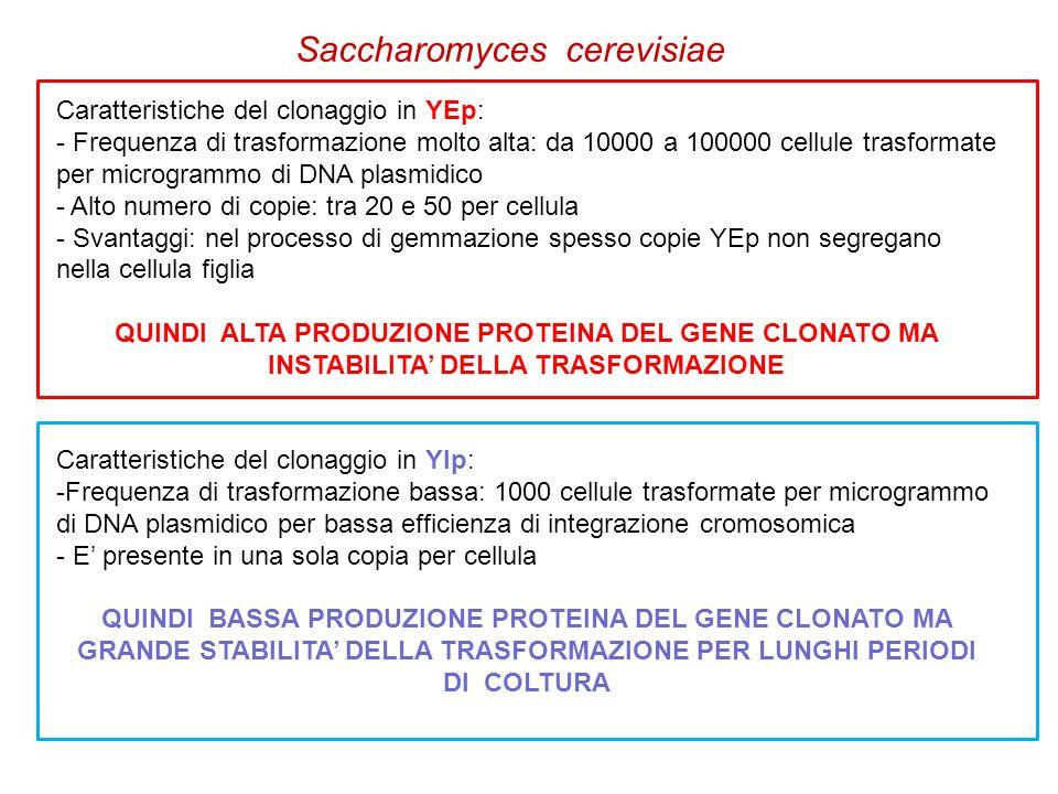 Saccharomyces cerevisiae Caratteristiche del clonaggio in YEp: - Frequenza di trasformazione molto alta: da 10000 a 100000 cellule trasformate per mic