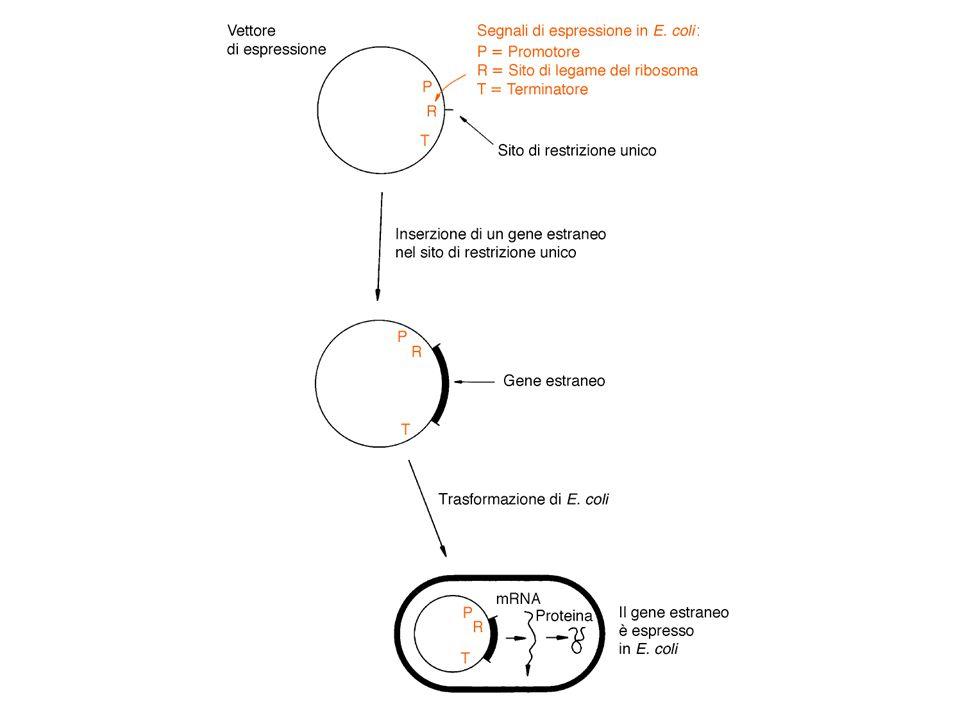 Espressione di geni esogeni in procarioti PRODUZIONE DI PROTEINE A PARTIRE DA GENI CLONATI Riconosciuto dalla subunità sigma RNA pol E.