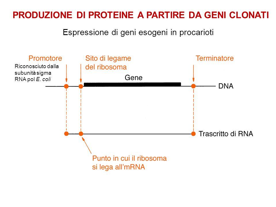 Espressione di geni esogeni in procarioti PRODUZIONE DI PROTEINE A PARTIRE DA GENI CLONATI Riconosciuto dalla subunità sigma RNA pol E. coli