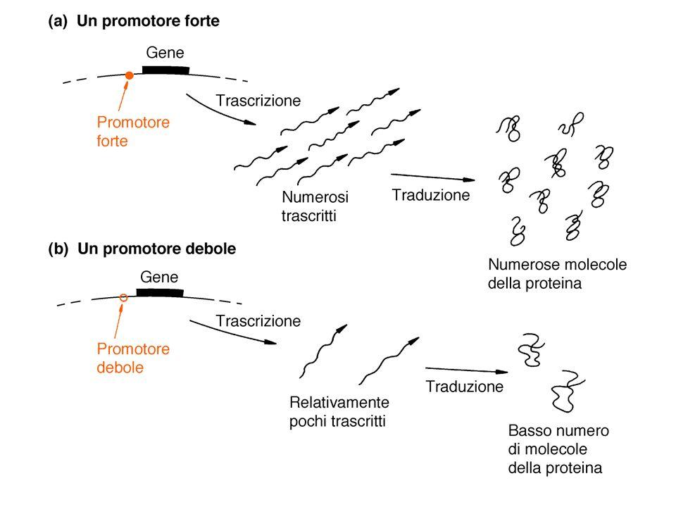 Monitoraggio della proteina esogena con possibili effetti dannosi sul procariote
