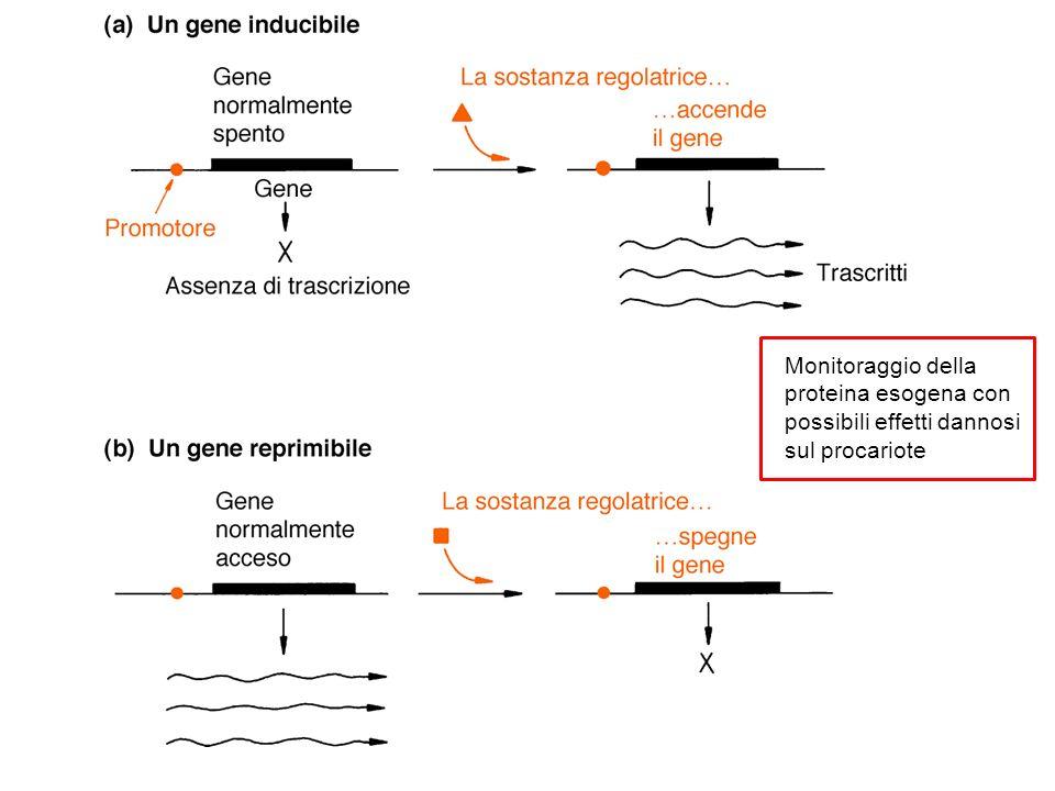 Plasmide integrativo di lievito: YIp = plasmidi batterici (pBR322) con resistenza antibiotici per selezione in batteri + URA3 (gene di lievito per la selezione) Saccharomyces cerevisiae Non contiene i geni di 2 µm (REP e ori) e non si può replicare se non si integra nel DNA dei cromosomi di lievito, stesso meccanismo di YEp