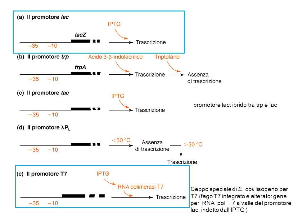 Ceppo speciale di E. coli lisogeno per T7 (fago T7 integrato e alterato: gene per RNA pol T7 a valle del promotore lac, indotto dallIPTG ) promotore t