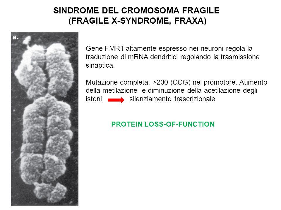 SINDROME DEL CROMOSOMA FRAGILE (FRAGILE X-SYNDROME, FRAXA) Gene FMR1 altamente espresso nei neuroni regola la traduzione di mRNA dendritici regolando