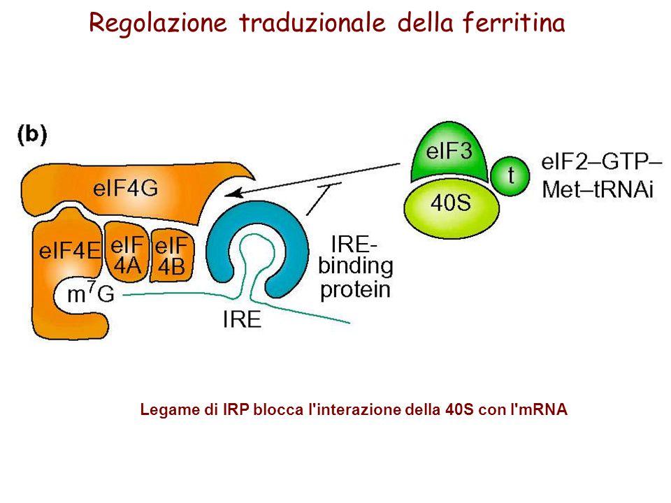 Legame di IRP blocca l'interazione della 40S con l'mRNA Regolazione traduzionale della ferritina