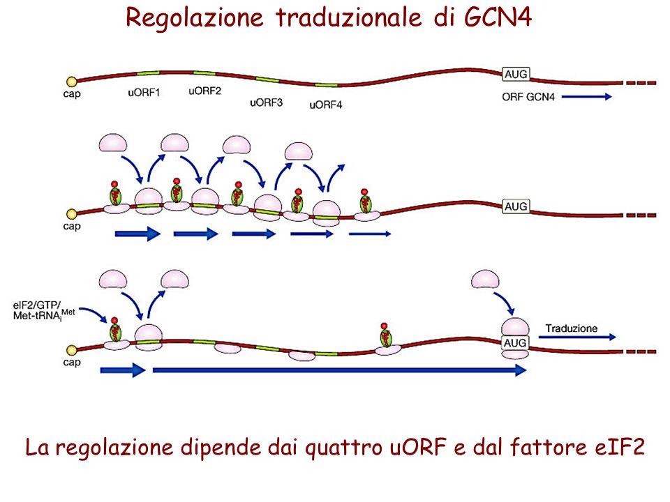 Regolazione traduzionale di GCN4 La regolazione dipende dai quattro uORF e dal fattore eIF2