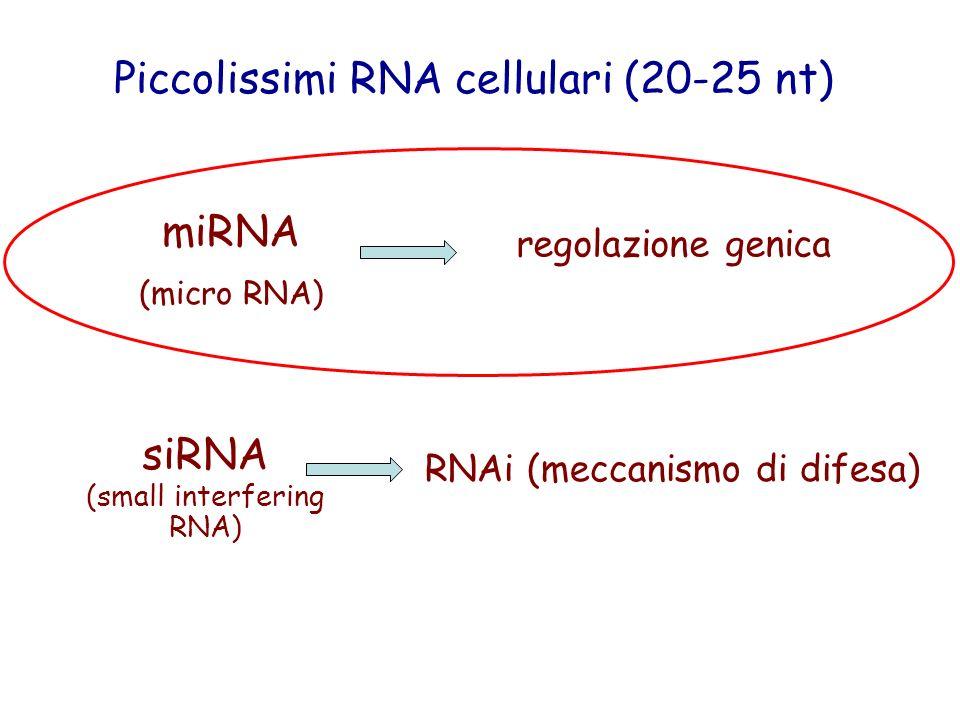 miRNA (micro RNA) siRNA (small interfering RNA) regolazione genica RNAi (meccanismo di difesa) Piccolissimi RNA cellulari (20-25 nt)
