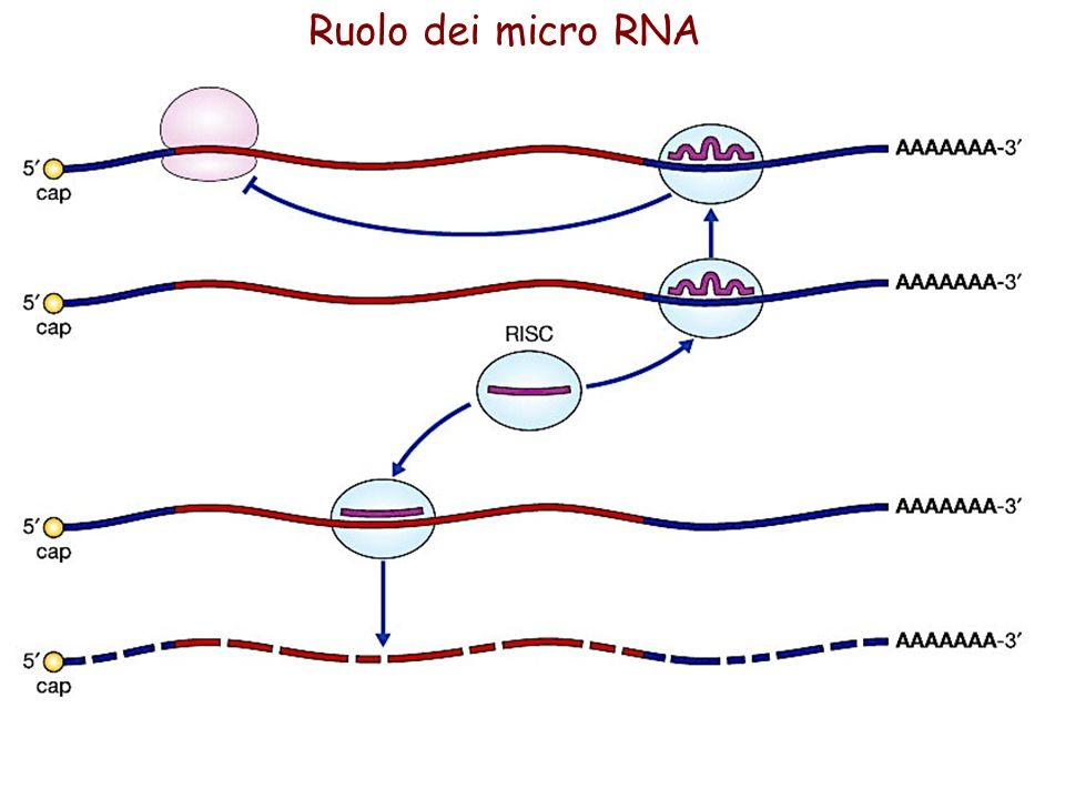 Ruolo dei micro RNA