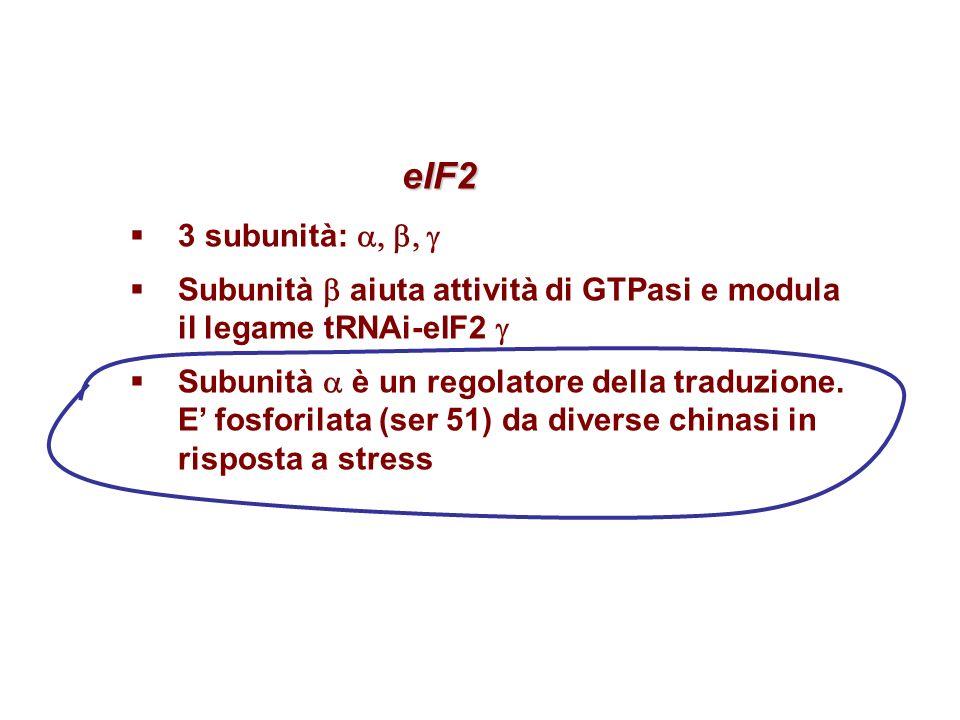 eIF2 eIF2 3 subunità: Subunità aiuta attività di GTPasi e modula il legame tRNAi-eIF2 Subunità è un regolatore della traduzione. E fosforilata (ser 51