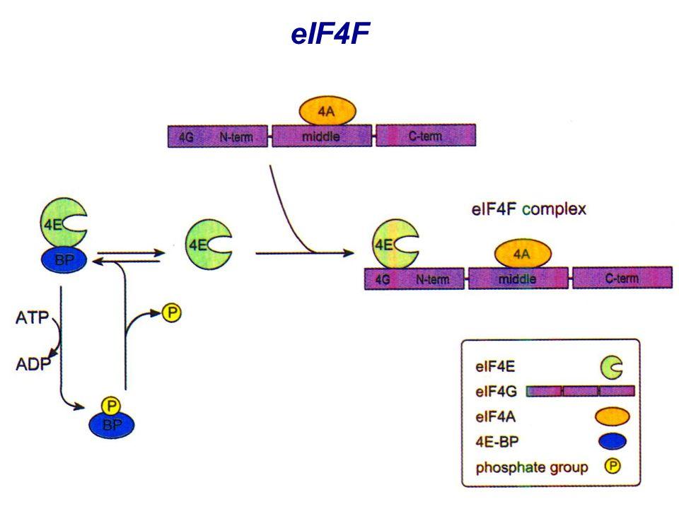 eIF4F eIF4F Composto da 3 subunità eIF4A: elicasi, aiutato da eIF4B eIF4E: cap binding protein, regolata da fosforilazione e interazione con eIF4E-BP eIF4G: adattatore, interagisce con diversi fattori
