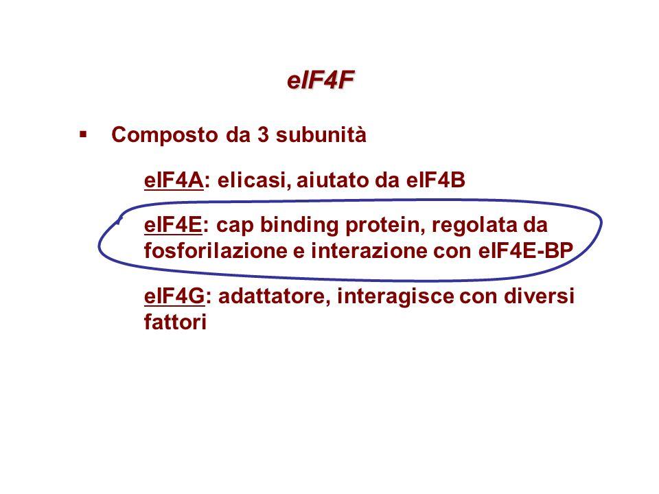 eIF4F eIF4F Composto da 3 subunità eIF4A: elicasi, aiutato da eIF4B eIF4E: cap binding protein, regolata da fosforilazione e interazione con eIF4E-BP