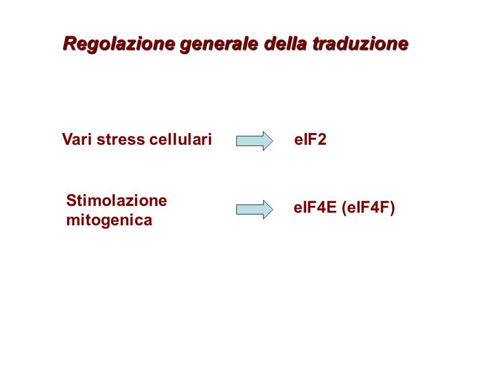Regolazione generale della traduzione Vari stress cellularieIF2 Stimolazione mitogenica eIF4E (eIF4F)