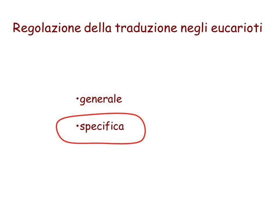 Regolazione della traduzione negli eucarioti generale specifica