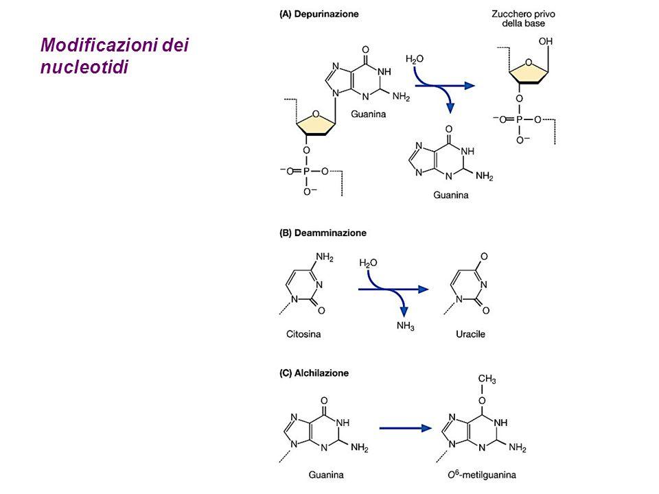 Modificazioni dei nucleotidi