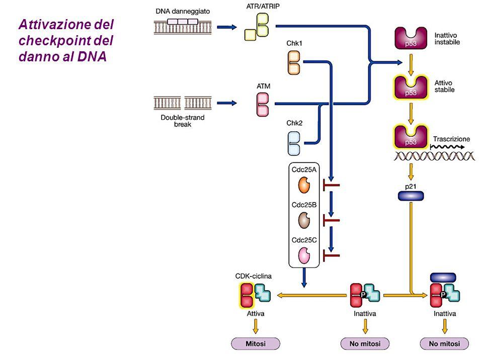 Attivazione del checkpoint del danno al DNA