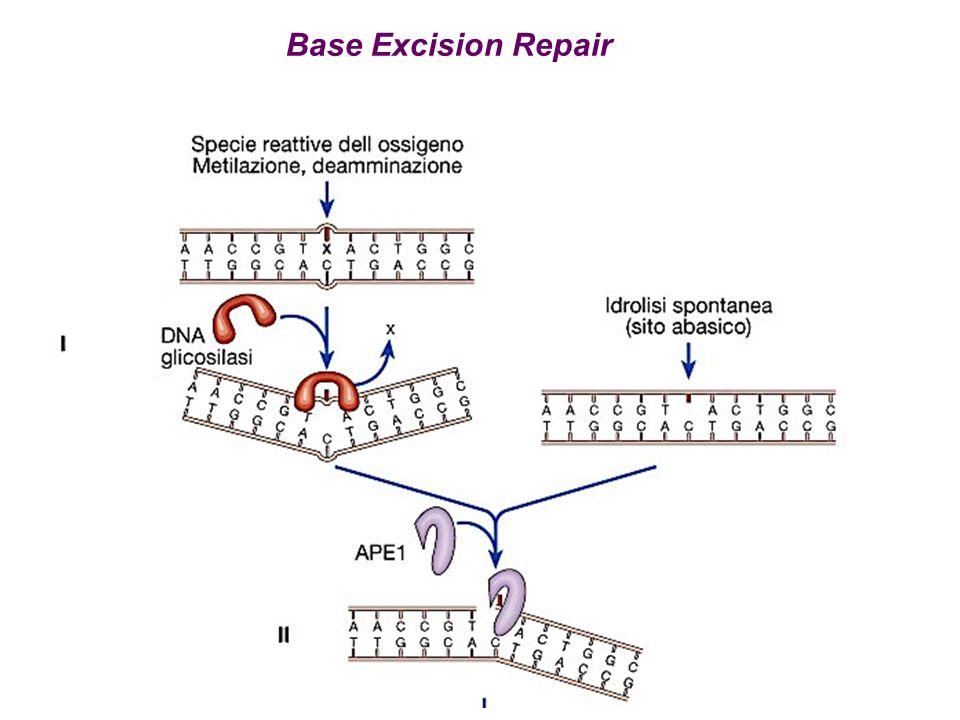 Base Excision Repair