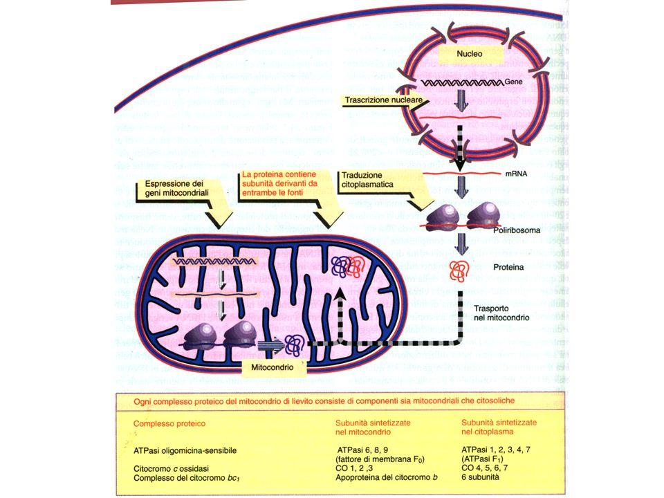 E.coli contiene varie proteine che legano il DNA