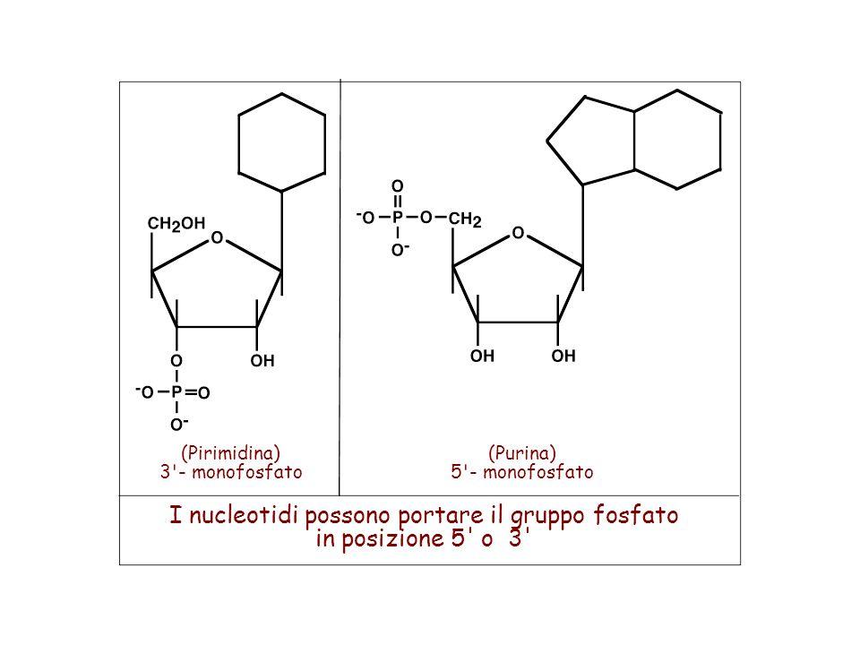 (Pirimidina) 3'- monofosfato (Purina) 5'- monofosfato I nucleotidi possono portare il gruppo fosfato in posizione 5' o 3'